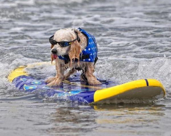 animale haioase animale caine surfer