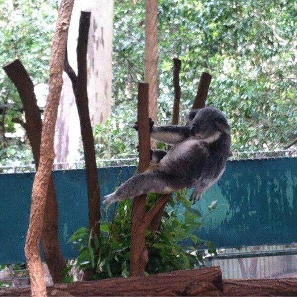 poze haioase animale koala dans