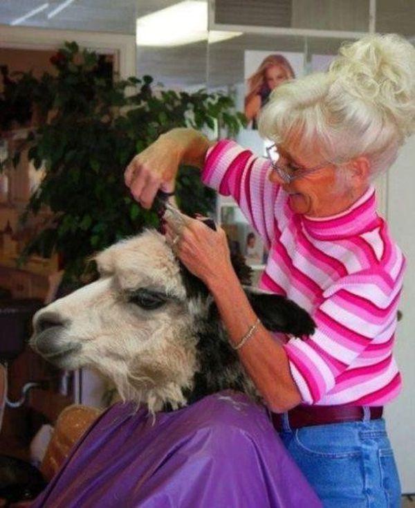 poze haioase animale oaie frizer