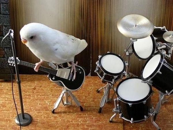 poze haioase animale porumbel chitara