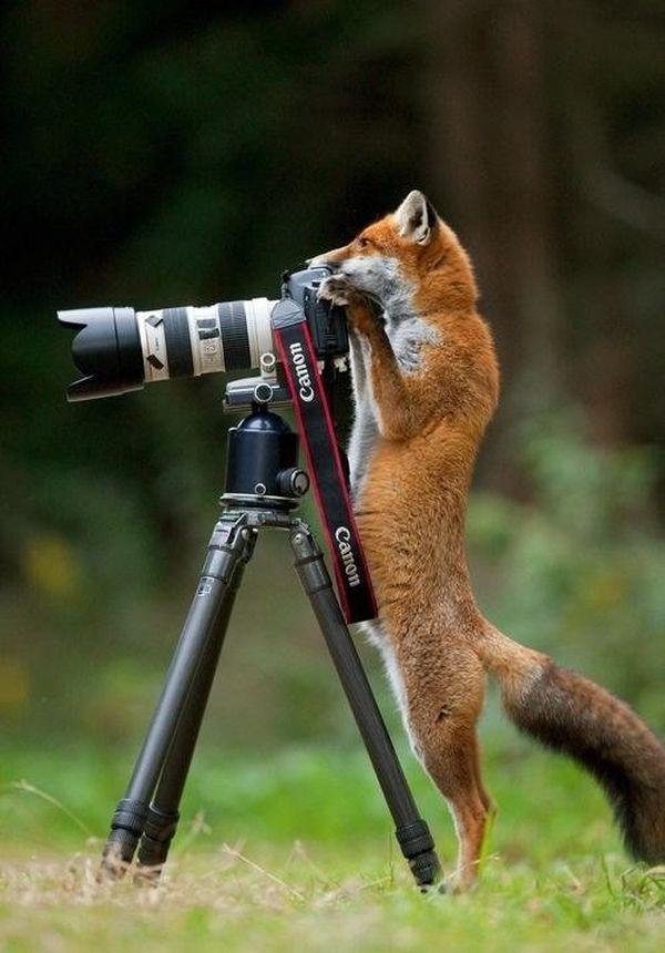 poze haioase animale vulpe fotograf