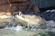 crocodil australia cupa davis
