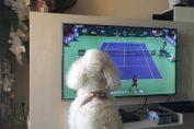 Pierre, căţelul lui Djokovic, se uită la meciul sârbului